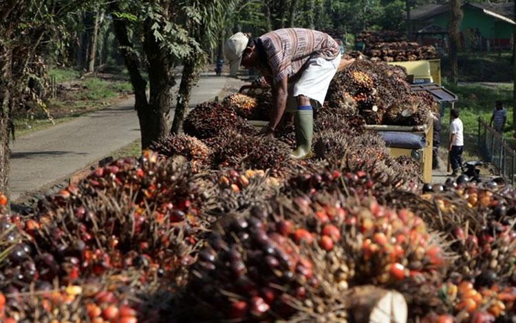 Sekjen Serikat Petani Kelapa Sawit (SPKS), Mansuetus Darto, menilai pengembangan petani kelapa sawit