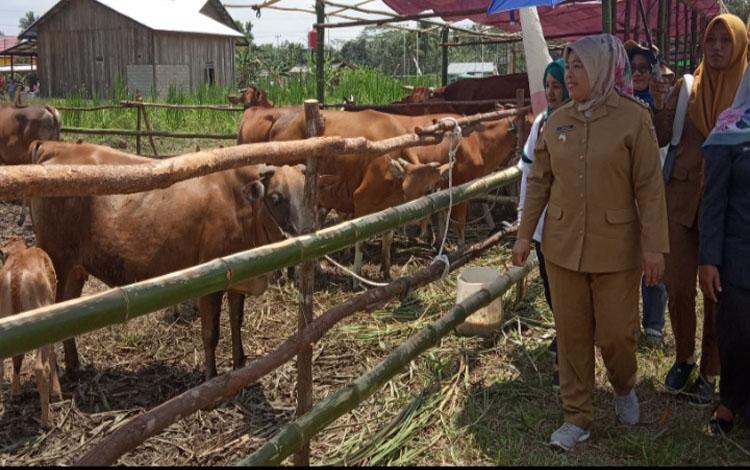 Bupati Kobar Nurhidayah saat melihat pedet atau anak sapi hasil pengembangan peternak lokal yang ditampilkan di Desa Sungai Pakit, Selasa, 8 Oktober 2019