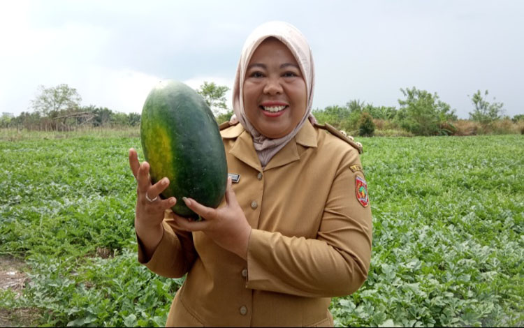 Bupati Kobar, Nurhidayah saat panen semangka di Desa Karang Mulya, Selasa 8 Oktober 2019