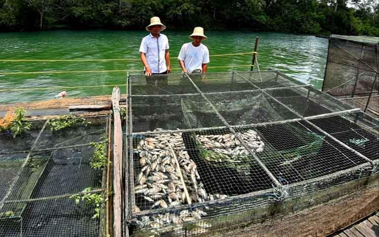 Berubahnya warna air Sungai Jelai dalam beberapa hari terakhir membuat petani keramba mengalami kerugian yang cukup besar. Pasalnya, perubahan warna air sungai menyebabkan banyak ikan yang mati.