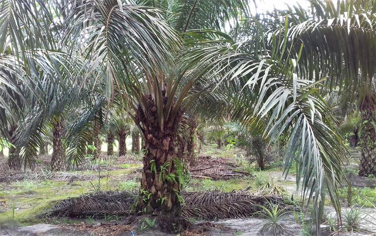 Lahan kebun sawit milik petani di Kabupaten Kotwaringin Timur (Kotim). DPRD Kotim mendukung rencana BUMD membuka usaha penampungan buah sawit dari petani