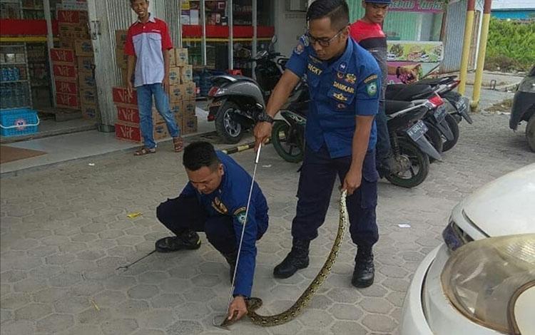 Sejumlah petugas damkar saat mengamankan ular sanca yang sempat gegerkan sejumlah karyawan toko ritel di Sampit, Selasa, 5 November 2019.