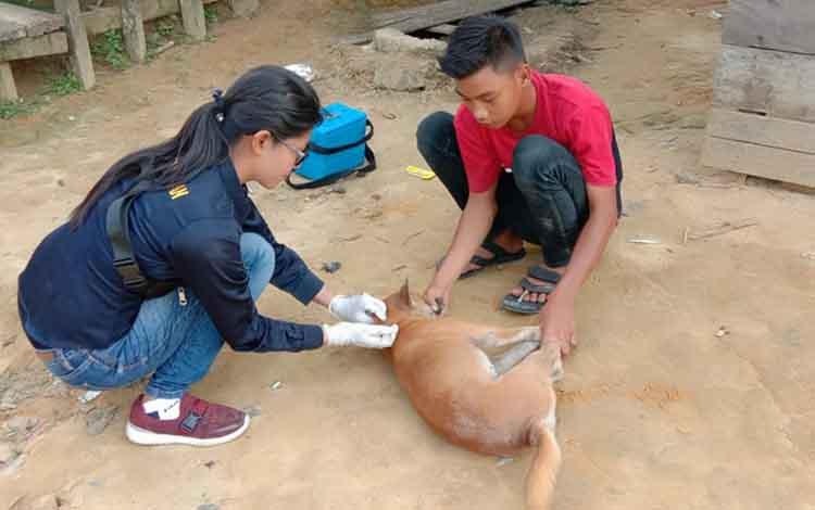 Kasi Kesehatan Hewan Distan Kapuas Anik Ariswandani saat memvaksinasi rabies. Sudah ada 2.463 ekor hewan sudah tervaksinasi rabies di Kabupaten Kapuas