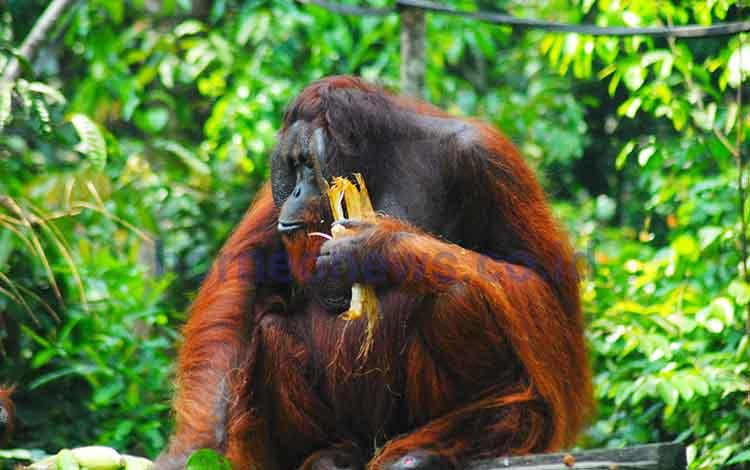 Salah satu orangutan bernama Gayo yang diperkirakan hanya bisat hidup di area pra-pelepasliaran