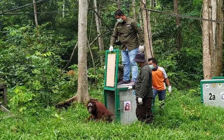 Proses pra-pelepasliaran orangutan di pulau badak kecil, kepulauan Salat, Desa Pilang, Rabu, 13 November 2019.