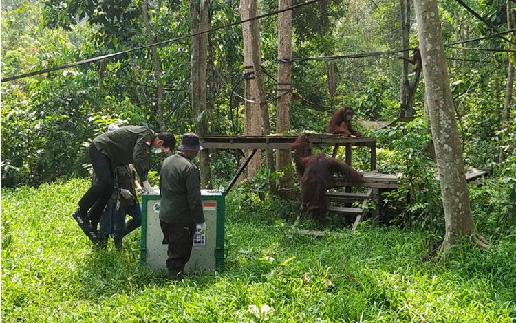 Yayasan BOS dan PT Sawit Sumbermas Sarana Tbk., (SSMS) kembali memindahkan 12 orangutan dari Pusat Reintroduksi Orangutan di Nyaru Menteng ke pulau pra-pelepasliaran di Pulau Salat, Kabupaten Pulang Pisau.