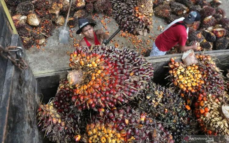 Ilustrasi - Pekerja melakukan bongkar muat Tandan Buah Segar (TBS) sawit untuk diangkut ke pabrik CPO Subulussalam di Desa Blang Dalam Babahrot, Kabupaten Aceh Barat Daya, Aceh, Jumat (16/8/2019). ANTARA FOTO/Irwansyah Putra/pras/pri.