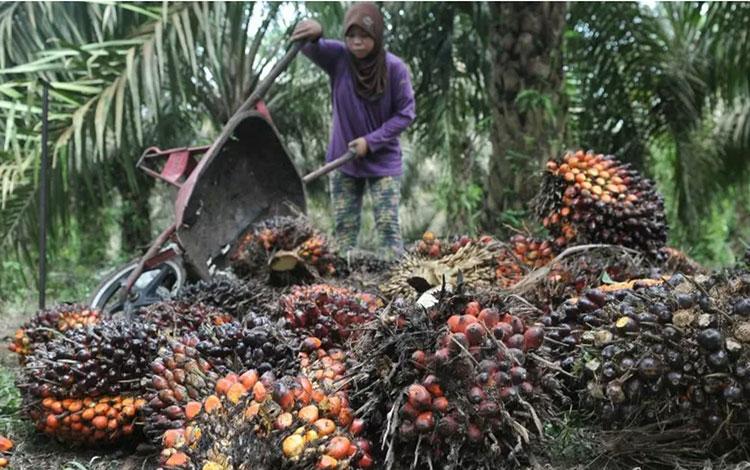 Petani mengumpulkan hasil panen kelapa sawit di lahan perkebunan Danau Lamo, Maro Sebo, Muarojambi,