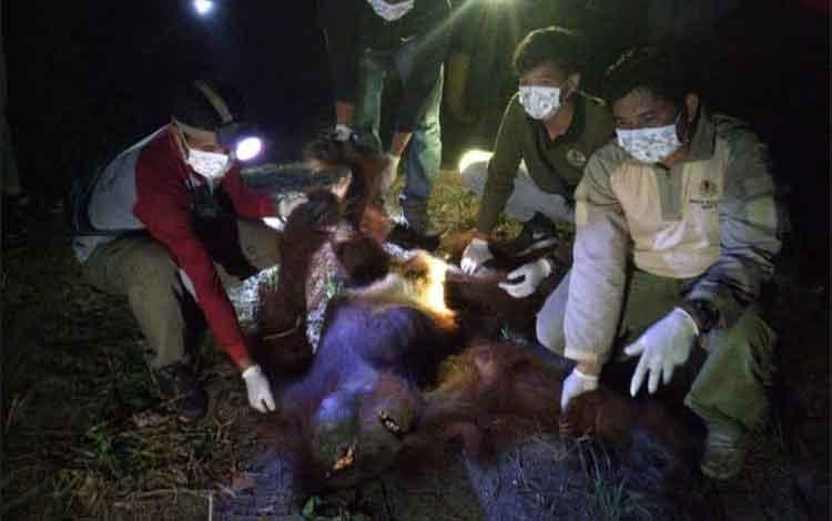Tim Wildlife Rescue Unit (WRU) BKSDA Kalteng dan Tim Rescue OF-UK sedang memberikan pertolongan medis darurat saat proses evakuasi orangutan yang ditemukan terluka parah di Desa Parang Batang, Kecamatan Hanau, Kabupaten Seruyan 30 November 2019
