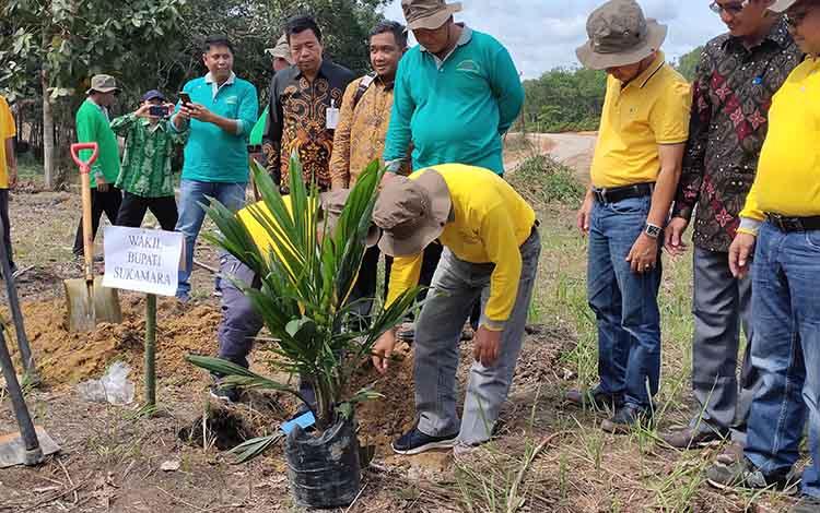 Wakil Bupati Sukamara, H Ahmadi saat menanam binit sawit di Desa Pangkalan Muntai, Kecamatan Sukamara, Kamis, 12 Desember 2019.