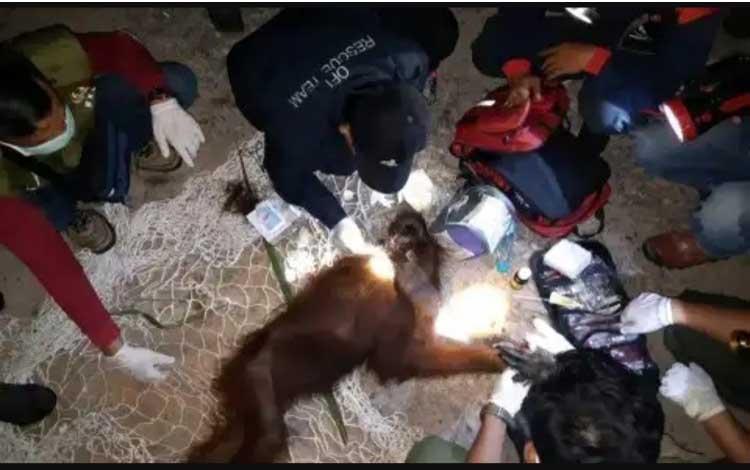Orangutan yang ditemukan di Desa Sei Bedaun, Kecamatan Kumai 9 Deaember 2019 akhirnya mati