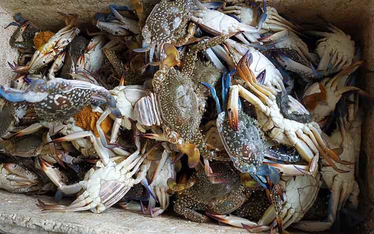 Kepiting rajungan yang berlimpah di pesisir Kuala Pembuang.