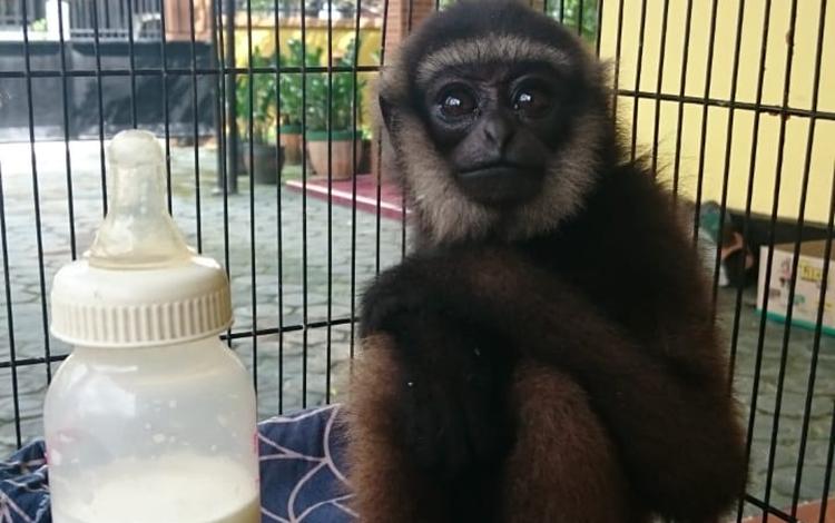 Owa-Owa salah satu hewan dilindungi yang di amankan BKSDA Po Jaga Sampit.