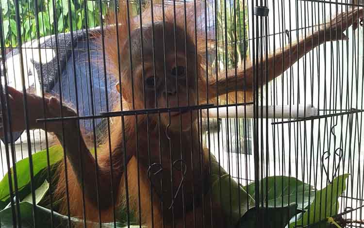 Seekor orangutan yang diserahkan warga kepada pihak BKSDA Pos Jaga Sampit. Kesadaran warga terhadap hewan dilindungi semakin meningkat, Senin, 20 Januari 2020.