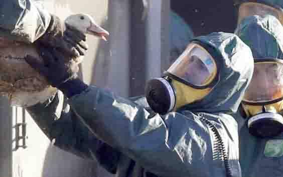 Pekerja mengumpulkan bebek untuk dimusnahkan di Latrille, Prancis, 6 Januari 2017. Wabah parah flu burung telah menyebar dengan cepat sejak bulan lalu. (foto : REUTERS via teras.id)