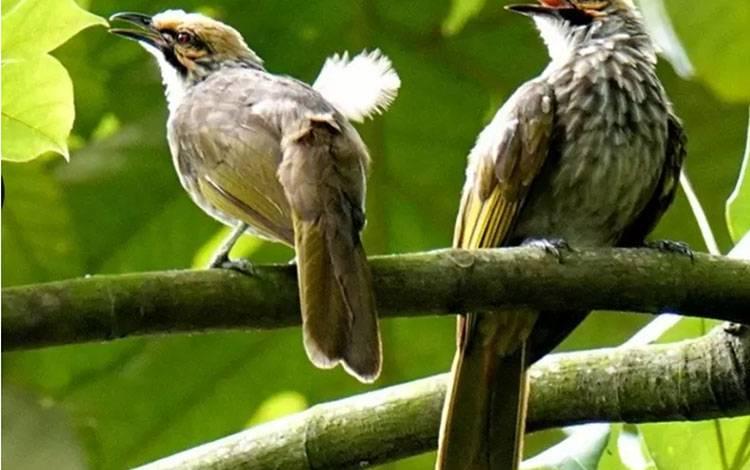 Salah satu jenis burung, yakni Bulbul yang menjadi kekayaan fauna di Indonesia. (ANTARA Foto/HO/Burung Indnesia).