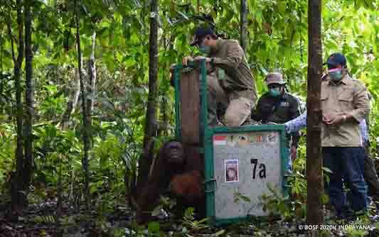 Pelepasliaran orangutan. (foto : BOSF)
