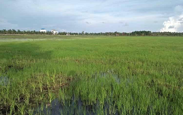 Salah satu lahan persawahan di Kecamatan Seruyan Hilir