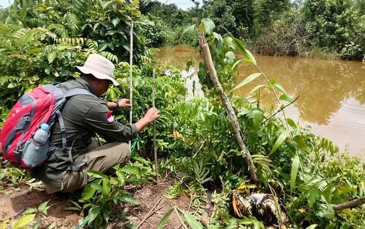 Petugas BKSDA Kalimantan Tengah saat melakukan pemasangan perangkap buaya di sekitar Sungai Malang Desa Mantaren II Kecamatan Kahayan Hilir Kabupaten Pulang Pisau, Rabu, 26 Febuari 2020.