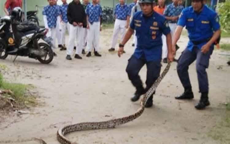 Petugas Dinas Pemadam Kebakaran dan Penyelamatan Kotim saat evakuasi ular sanca kembang di lingkungan MTs PPKP Sampit, Kamis, 27 Februari 2020.