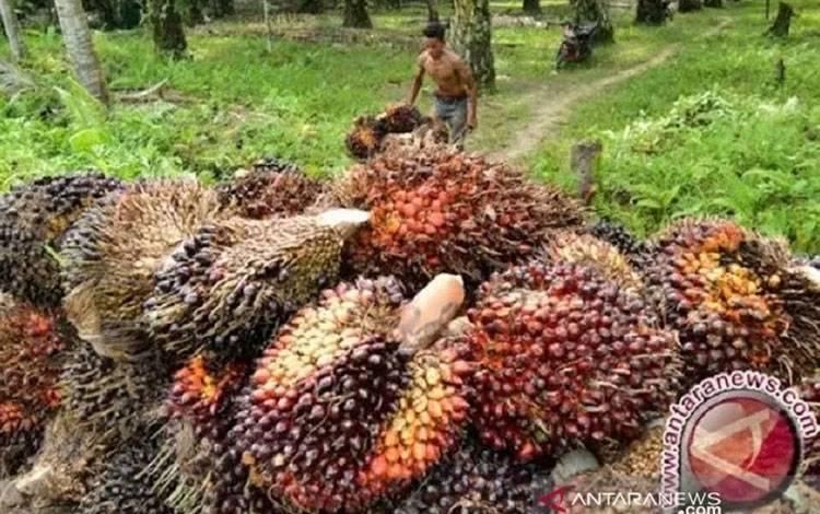 Tanda Buah Segar (TBS) dari petani Jambi yang harganya dalam beberapa bulan terakhir alami fruktuasi akibat harga CPO dunia yang belum stabil.(ANTARA/HO)