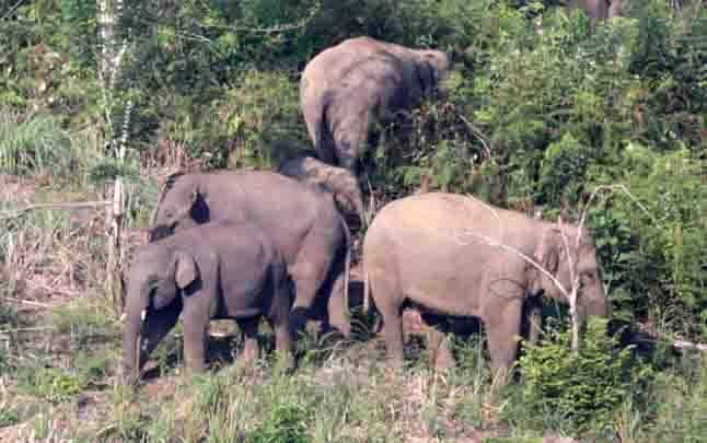Kawanan gajah sumatera. (foto : ANTARA via teras.id)