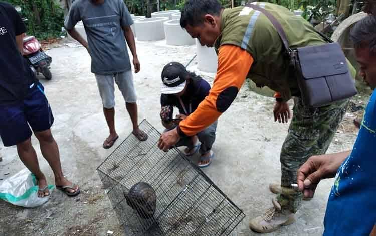 Komandan BKSDA Pos Jaga Sampit Muriansyah memasukan trenggiling ke dalam kandang. Hewan tersebut diserahkan dalam keadaan sehat dan berumur 3 tahun, Rabu, 11 Maret 2020