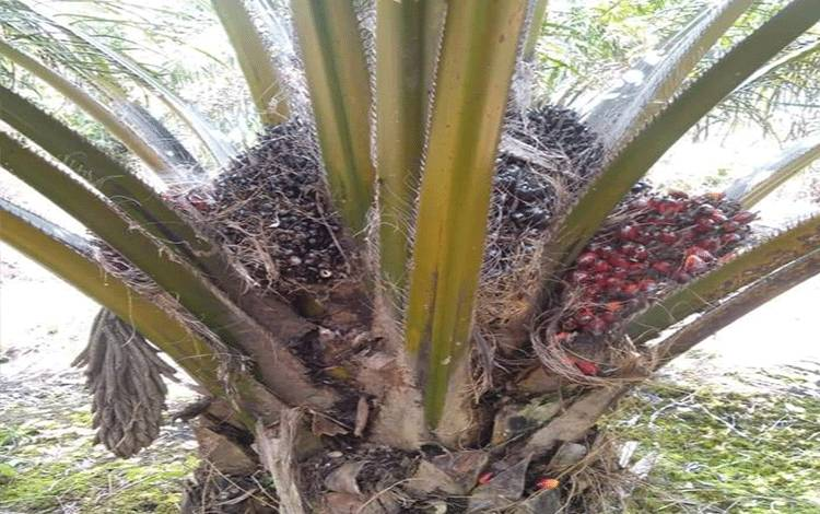 Kelapa sawit milik warga Kecamatan Tasik Payawan ini tumbuh subur di lahan gambut, namun saat ini harga TBS sedang turun.