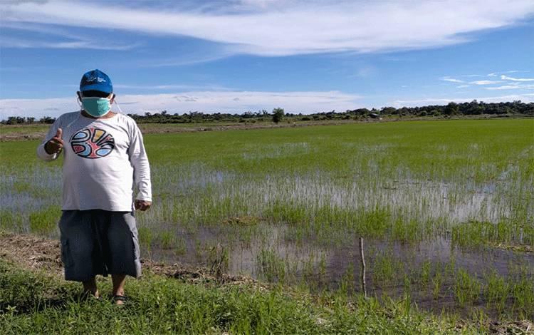 Camat Katingan Kuala H Surianto saat mengecek tanaman padi warganya.