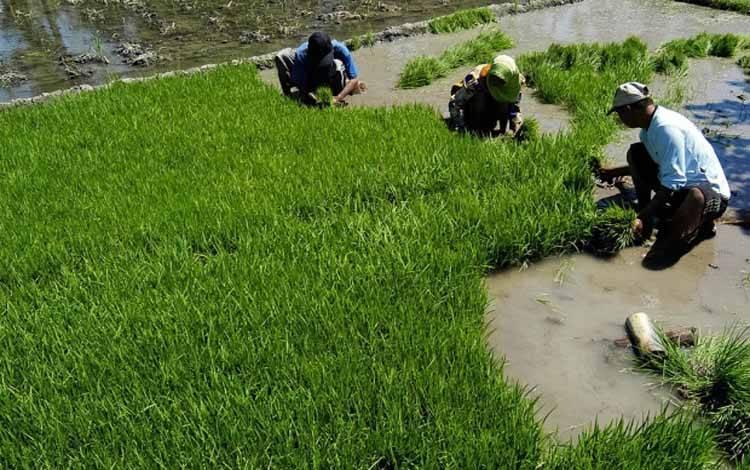 Penyusutan Lahan Pertanian Semakin Cepat