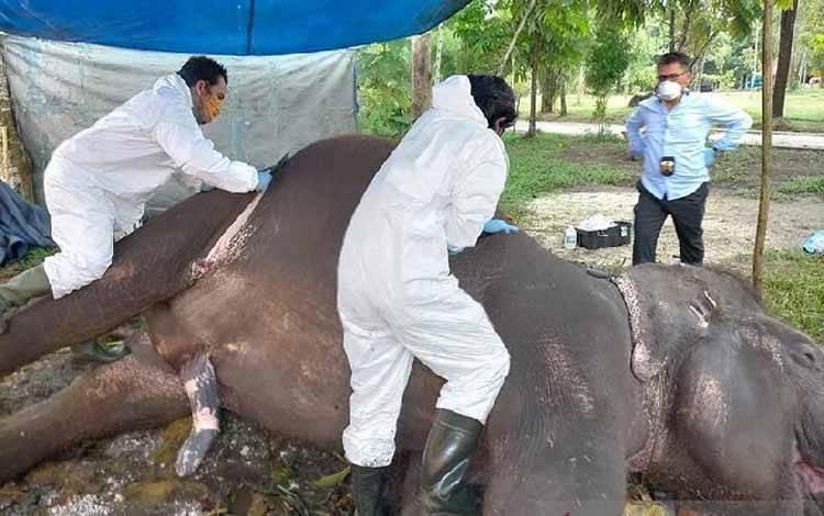 Petugas BBKSDA Riau melakukan nekropsi gajah sumatera jinak yang mati di Kebun Binatang Kasang Kulim, Kabupaten Kampar, Riau. (ANTARA/Dok. BBKSDA Riau)