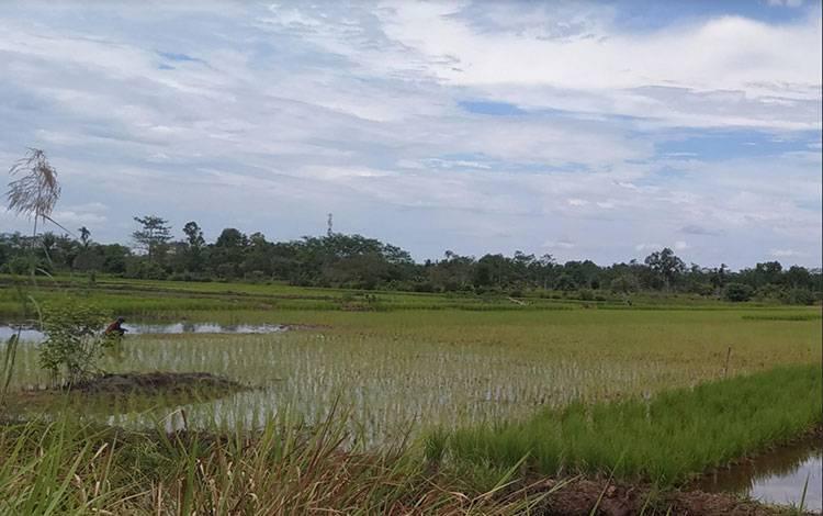 Lahan padi di Pulang Pisau.