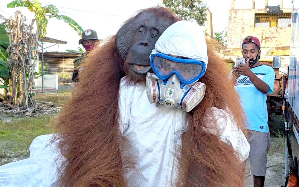 Proses evakuasi orangutan dari perkebunan warga di Sampit, Senin, 29 Juni 2020.