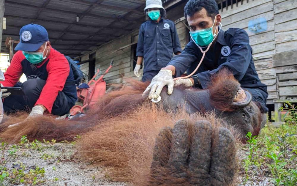 Petugas memeriksa kesehatan orangutan yang terpaksa dilumpuhkan dengan peluru bius saat akan dievakuasi di kawasan Lingkar Selatan Sampit, Senin, 29 Juni 2020.