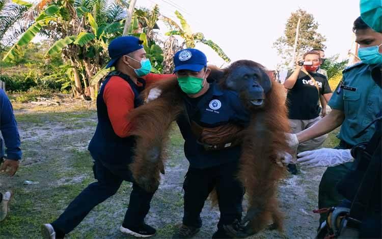 Sejumlah petugas saat melakukan evakuasi orangutan di Jalan Lingkar Selatan, dan kondisinya dalam keadaan baik