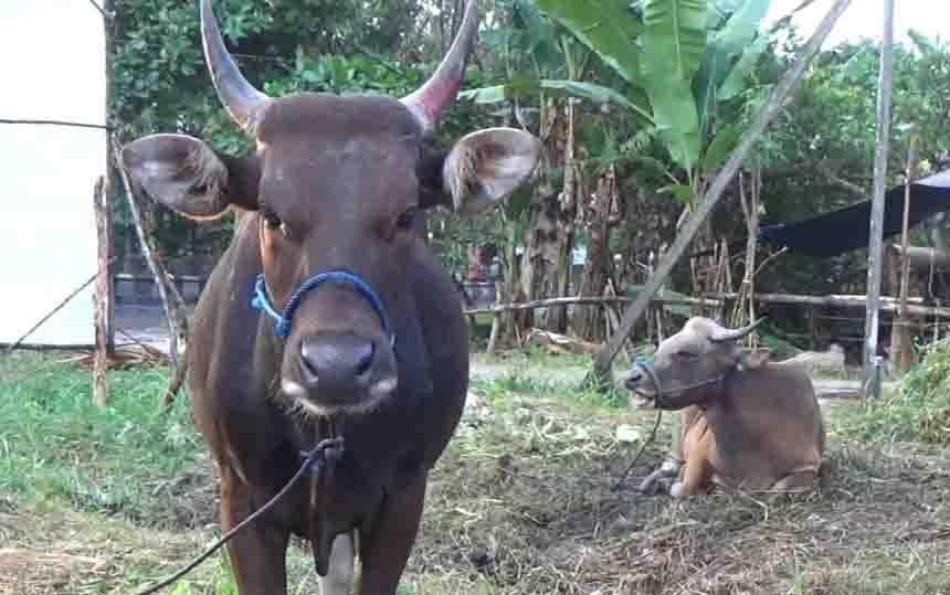 Penjualan hewan kurban di Sampit.