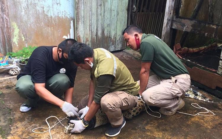 Komandan BKSDA Pos Jaga Sampit Muriansyah, bersama pegawainya, saat melakukan evakuasi buaya milik warga.