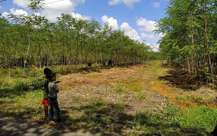 Kebun Sengon di Kabupaten Pulang Pisau.