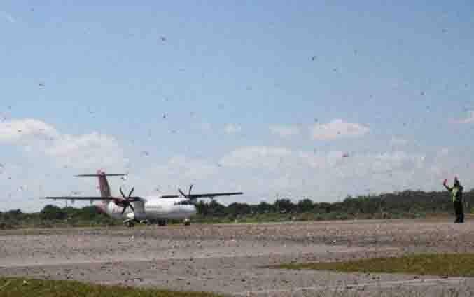 Pesawat mendarat di tengah kerumunan belalang kembara di Bandara Umbu Mehang Kunda, Kota Waingapu, Kabupaten Sumba Timur, Nusa Tenggara Timur, Rabu 15 Juli 2020. (foto : ANTARA via teras.id)