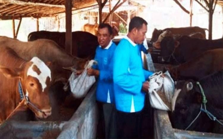 Peternakan sedang memberikan makanan untuk sapi potong, pembibitan dan penggemukan di Provinsi Sumatera Barat - (Foto: Dok)