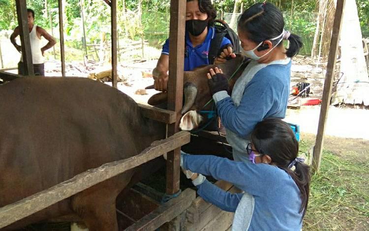 Foto:Petugas Kesehatan Hewan Distan Kapuas saat mengambil sampel serum dan darah sapi yang diternak warga.