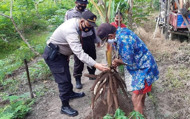 Kapolsek Kahayan Hilir Ipda Widodo saat melihat hasil panen warga dari lahan yang digarap tanpa bakar.