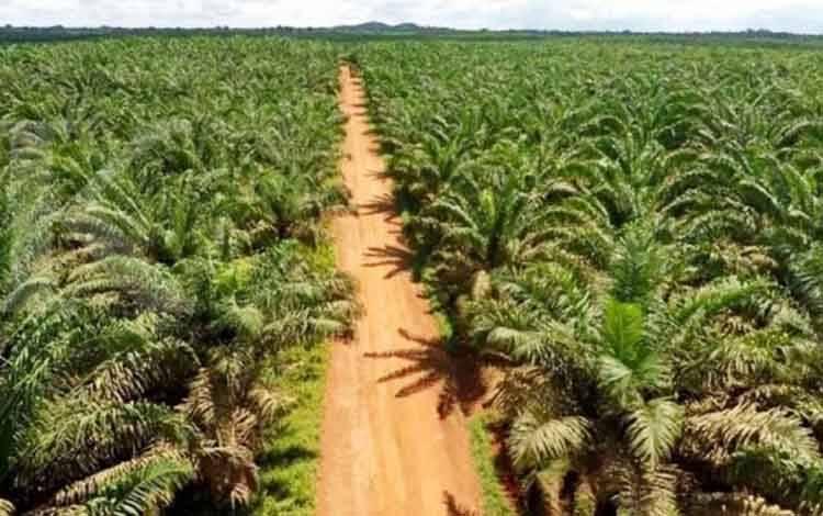 Lahan perkebunan kelapa sawit di lahan PT SAL