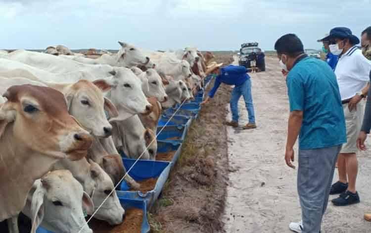 H Abdul Rasyid AS dan Wakil Bupati Sukamara H Ahmadi saat meninjau peternakan sapi di Kecamatan Pantai Lunci.