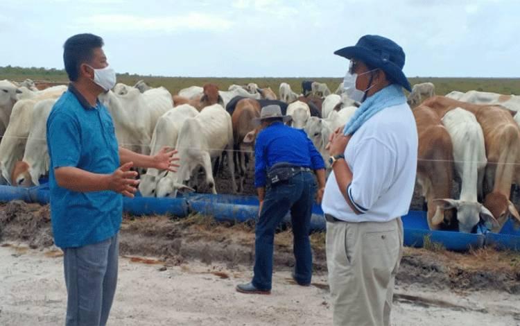 H Abdul Rasyid AS dan Wakil Bupati Sukamara, H Ahmadi saat meninjau peternakan sapi di Kecamatan Pantai Lunci.
