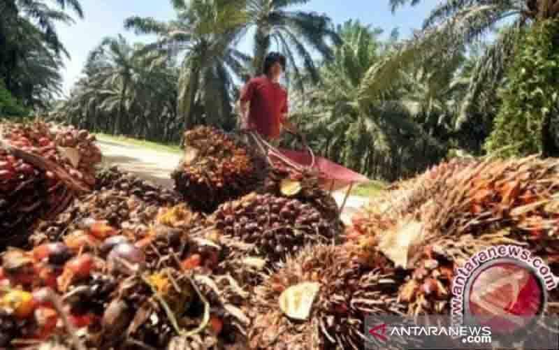 Ilustrasi tandan buah segar kelapa sawit. (foto : ANTARA/HO)
