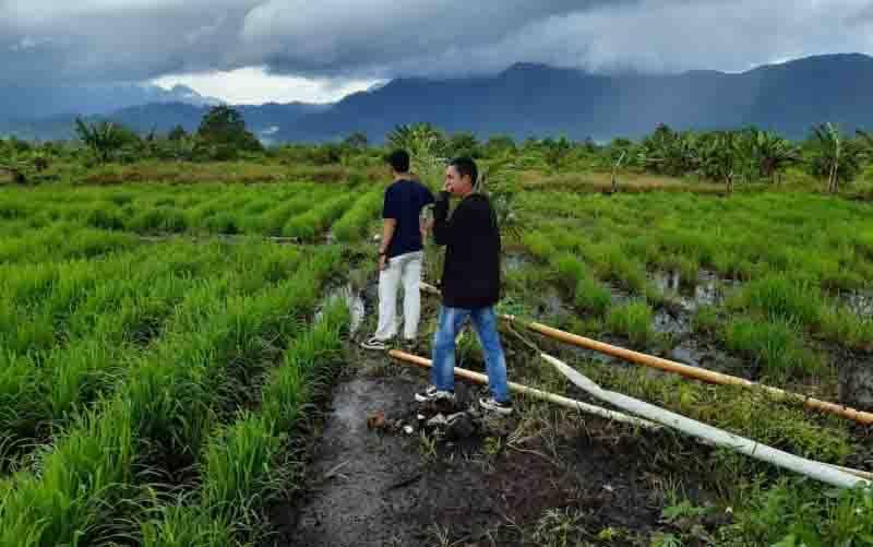 Pertanian padi. (foto : Nikolas Panama)