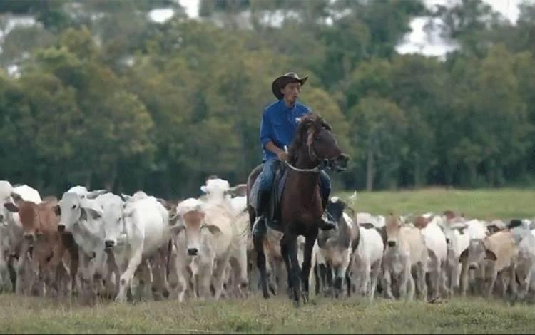 Peternakan sapi di Sulung Ranch