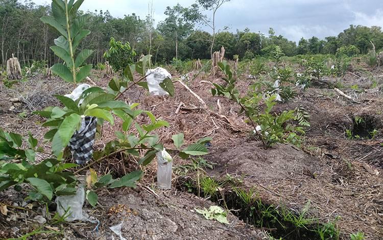 Salah satu kebun buah jambu kristal warga di Desa Sungai Paring, Kecamatan Cempaga, Kabupaten Kotim.