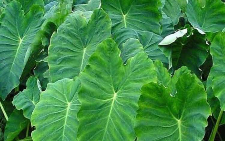 Tanaman keladi yang belakangan ini digemari warga untuk dijadikan tanaman hias